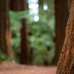 Redwood Forest scenery highlights NZ Music